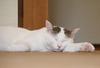 【詩歌】【その他】ポストカード_へちま(猫)腕のせ(写真のみ)
